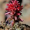 Indian Warrior (Pedicularis densiflorus) <br /> Mitchell Rock Trail near Twin Peaks <br /> Mt. Diablo State Park <br /> Feb. 7, 2016