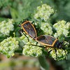 Unknown _1B<br /> Insect: Bordered Plant Bug  (Largus californicus) <br /> Save Mount Diablo's 2016 Bioblitz: The Final Morgan Fire Footprint Investigation. <br /> Perkins Canyon, Mount Diablo State Park. <br /> April 2, 2016