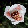 Butterfly mariposa lily  (Calochortus venustus)  <br /> Mitchell Canyon <br /> Mount Diablo State Park <br /> May 12, 2016