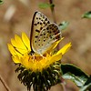 Flower: Great Valley gumweed  (Grindelia camporum) <br /> Butterfly: Great Copper (Lycaena xanthoides)  <br /> Mt. Diablo<br /> Deer Flat Rd, near Juniper Campground <br /> June 11, 2015