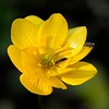 California buttercup (Ranunculus californicus) <br /> Mitchell Rock Trail <br /> Mt. Diablo State Park <br /> Feb. 7, 2016