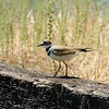 Killdeer (Charadrius vociferus) <br /> IPM Workday - Curry Canyon Ranch <br /> Save Mount Diablo <br /> June 28, 2017