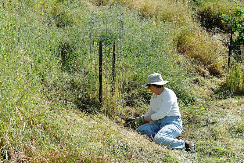 Irish Canyon, <br /> East Bay Regional Park District. <br /> Riparian tree restoration project. <br /> Watering and fire abatement work <br /> by SMD staff and volunteers. <br /> May 10, 2016