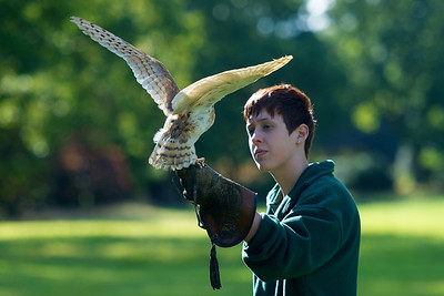 Barn Owl returning to its trainer