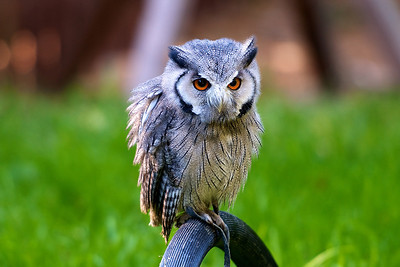 Scops Owl on his perch