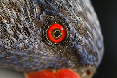 Lorikeet eye closeup