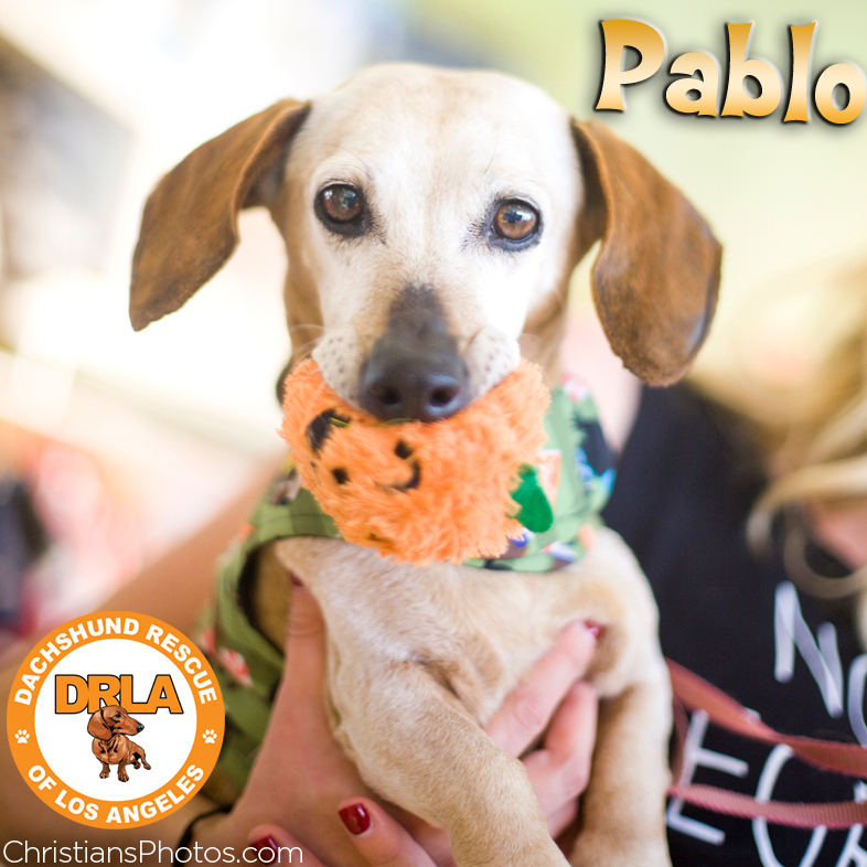 Pablo was rescued by DachshundRescueOfLosAngeles.com and then adopted after his new photo was posted!