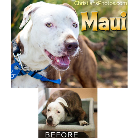 Sweet shelter pup Maui showered me with face licks when I met her in San Diego and gave her a proper photo:)