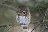 Saw-Whet Owl 4 (2-2017)