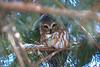 Saw0Whet Owl 3 (2-2017)