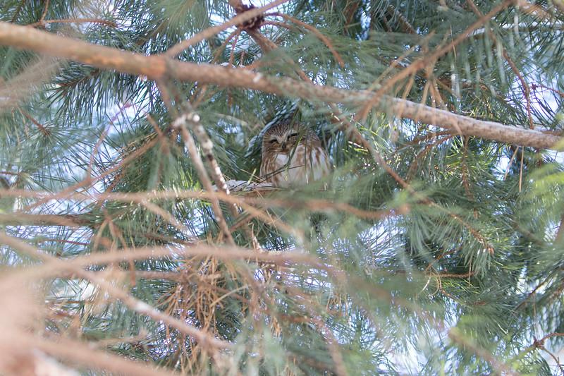 Saw-Whet Owl 5 (2-2017)