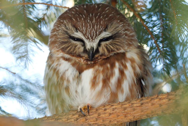 Saw-Whet Owl 8 (2012)