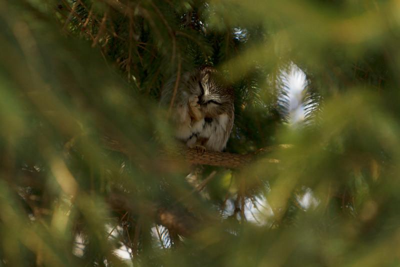 Saw-Whet Owl 4 (2012)
