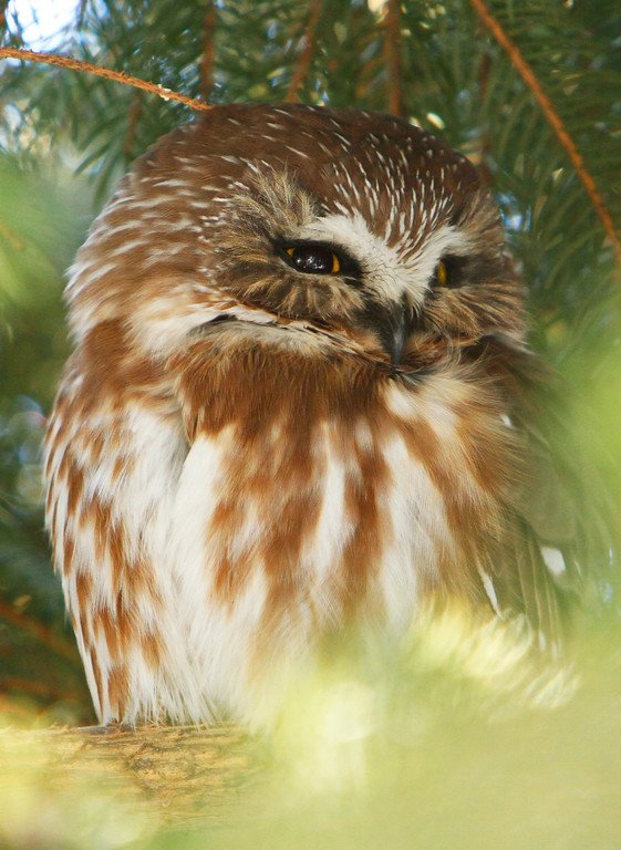 Saw-whet owl 5 (2012)