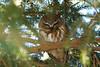 Saw-Whet Owl 7 (2012)