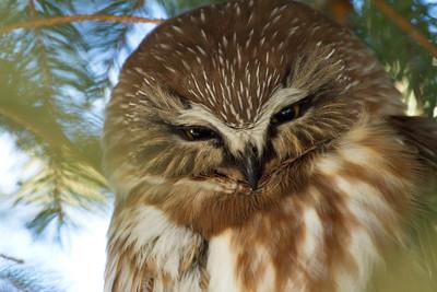 Saw-Whet Owl 2 (2012)