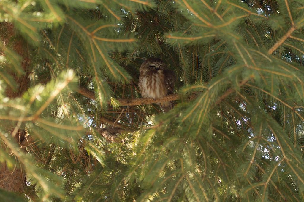 Saw-whet owl 3 (2012)