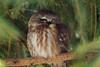 Saw-Whet Owl 1 (2012)