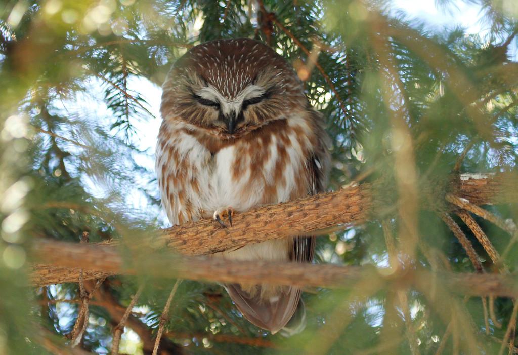 Saw-whet owl 6 (2012)