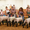 BEN MIKESELL | THE GOSHEN NEWS<br /> Members of the 4-H Lamb Club participate in the open show Saturday.