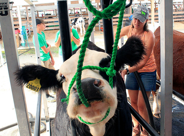 "Roger Schneider | The Goshen News<br /> Liz Gingerich of Bristo,l blow dries her heifer ""Fiona"" after washing the animal Friday at the Elkhart County 4-H Fair."