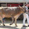 BEN MIKESELL | THE GOSHEN NEWS<br /> Wesley Rush, 16, of Goshen, with his brown swiss, Thalia.