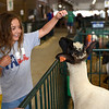 BEN MIKESELL | THE GOSHEN NEWS<br /> Liza Cramer, 7, of South Bend, in the 4-H sheep barn.