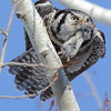 Northern Hawk Owl with Lunch