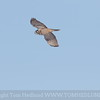 Northern Hawk Owl flying out.