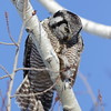 Northern Hawk Owl holding on to lunch