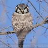 Northern Hawk Owl watching us watching him.