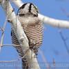 Northern Hawk Owl holding on.