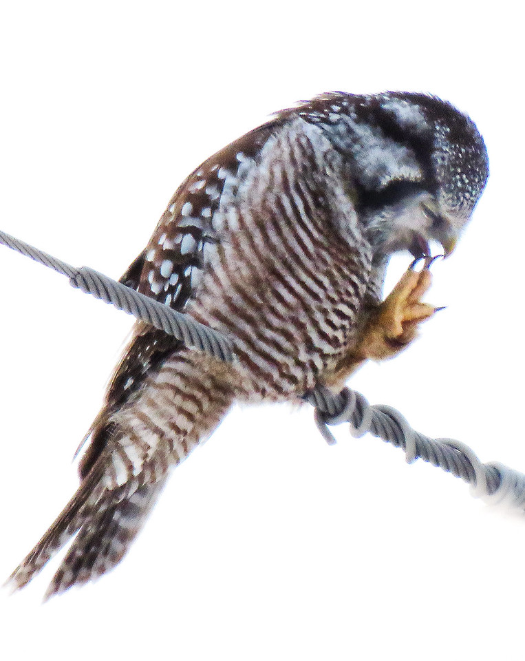 Northern Hawl Owl  preening