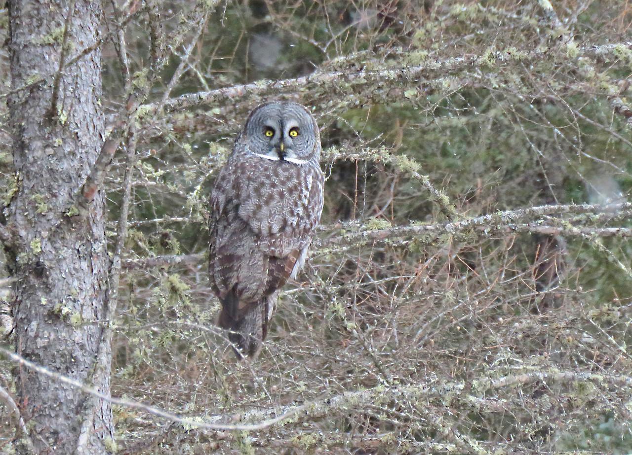 Great Gray Owl     horizontal