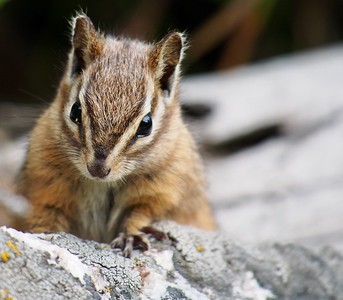 Least Chipmunk, Grand Teton National Park, Wyoming, USA