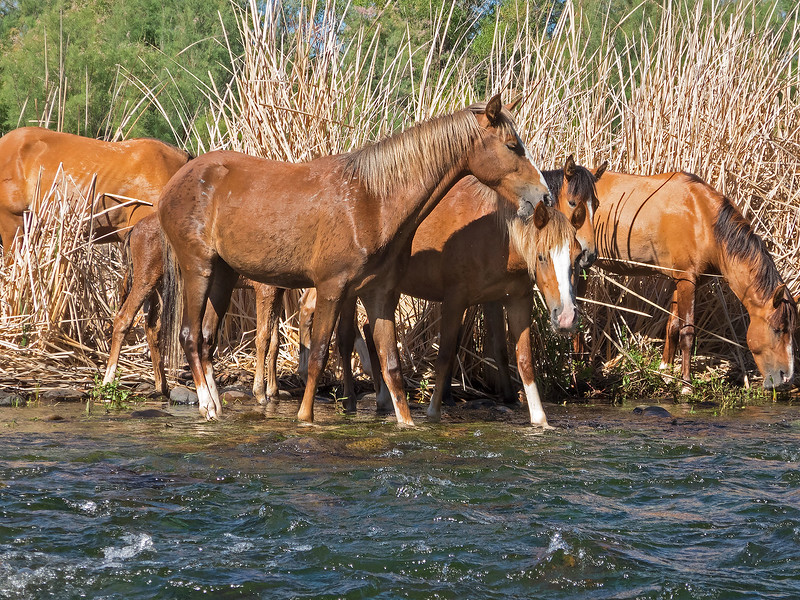 Wild Horses on the Lower Salt River