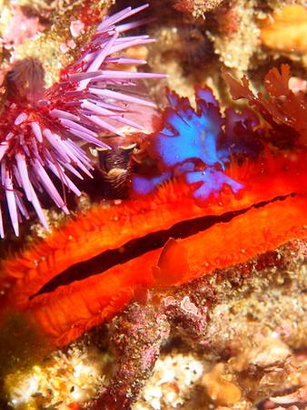 Crassedoma Giganteum (rock scallop)