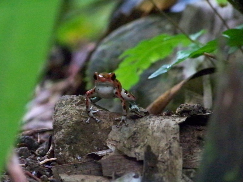 The red frog of Isla Bastimentos, Panama.