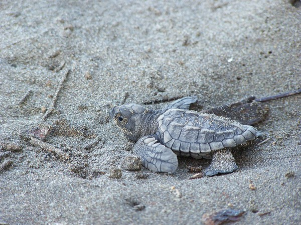 Olive Ridley Sea Turtle hatchling going out to sea as part of the conservation program at Hacienda Baru National Wildlife Refuge, Costa Rica.