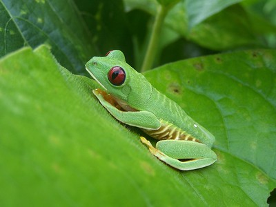 Hacienda Baru, Costa Rica. Red eyed tree frog.