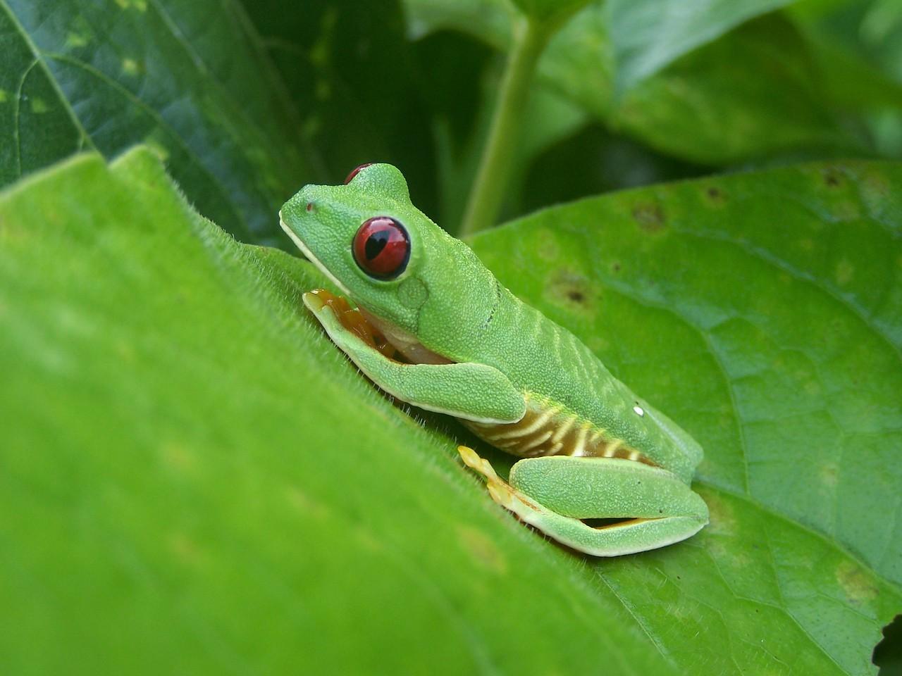 Hacienda Baru, Costa Rica. Red eyed tree frog.