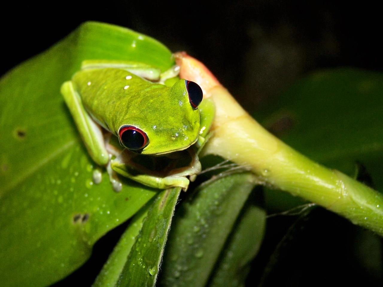 Look at those eyes! Panama.