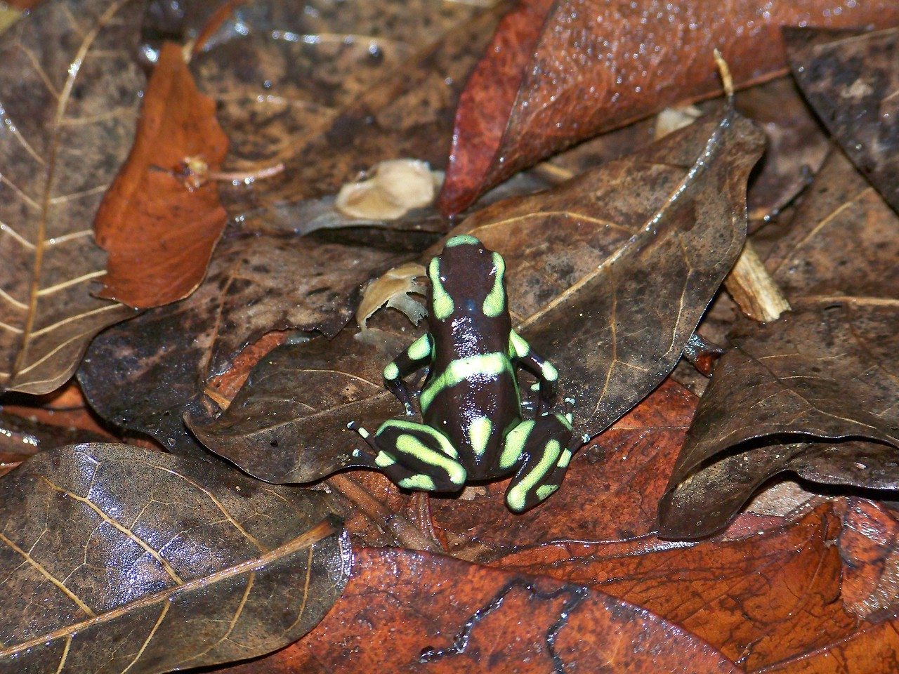 The green and black poison dart frog, Panama. This frog also lives near me in Costa Rica.