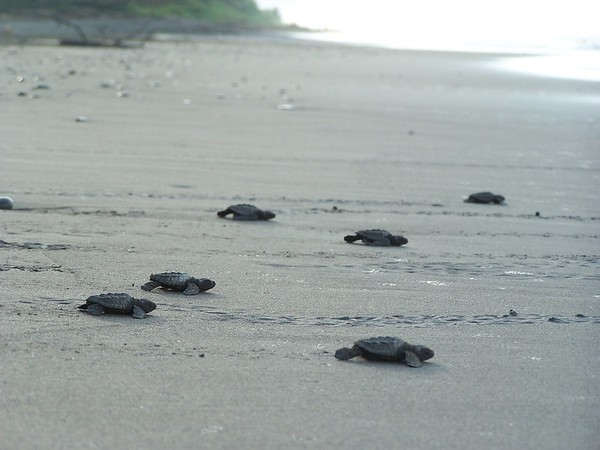 Sea Turtle protection program, Hacienda Baru.
