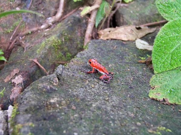 "The mascot of ""Red Frog Beach"" is found only on Isla Bastimentos, Panama."