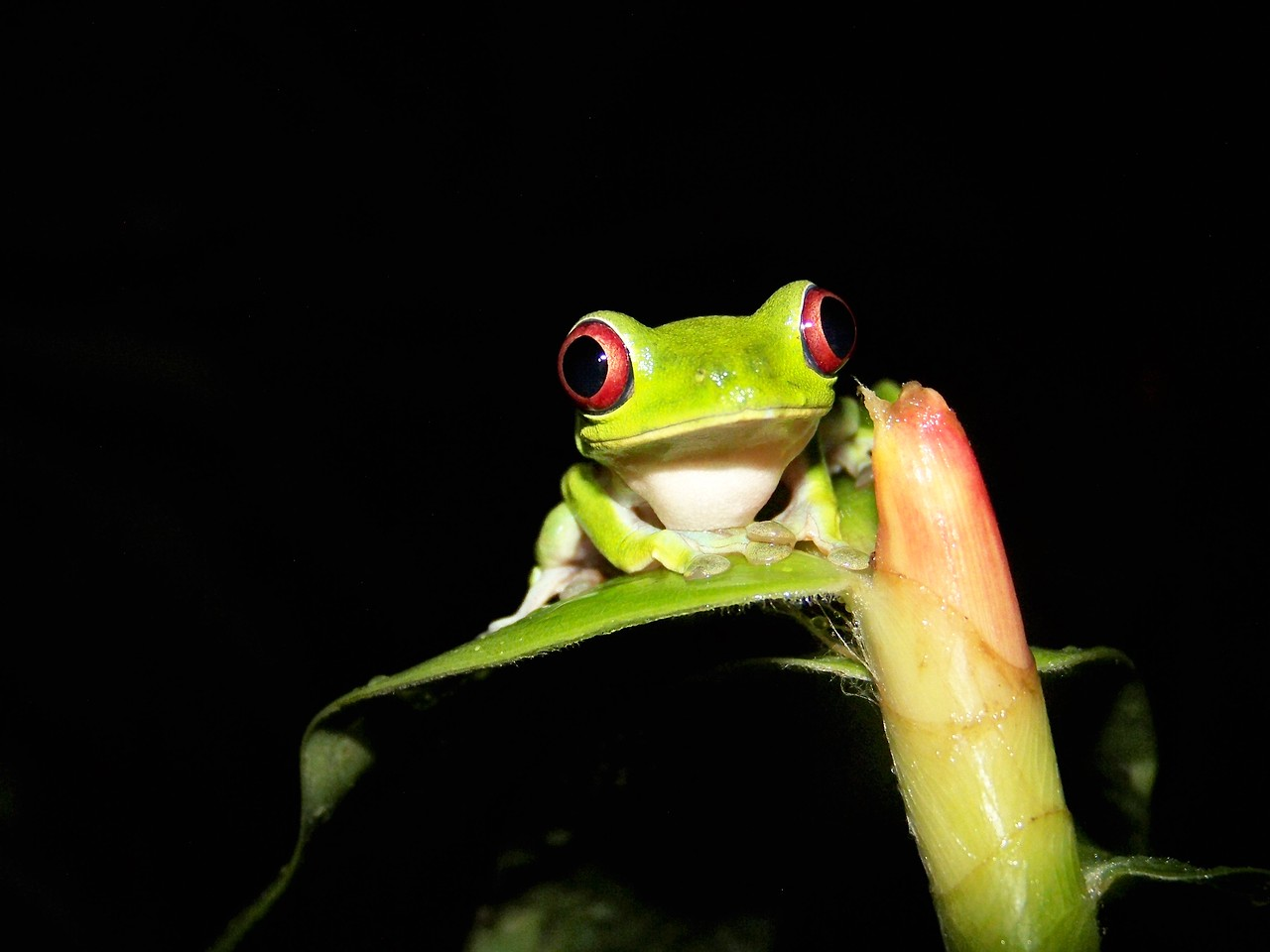 Smiling little red eyed tree frog in the dark. Panama.