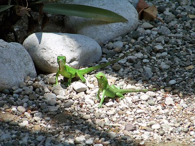 Baby iguanas Matapalo Costa Rica.