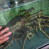 Big live crab!