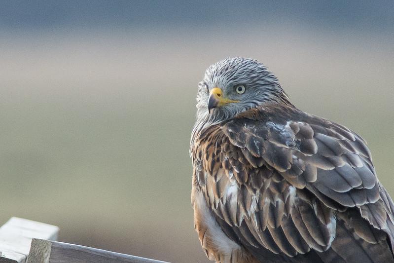 Scandinavian wildlife; Birds of prey