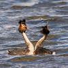 Scandinavian wildlife, Scandinavian, birds,